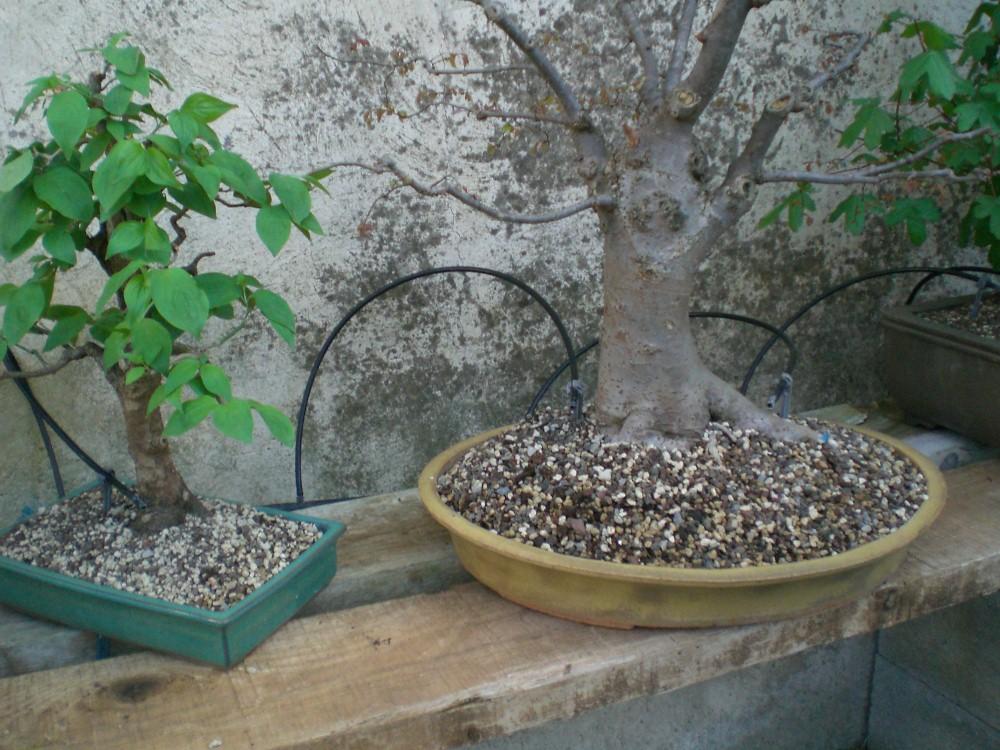arrosage automatique bonsai