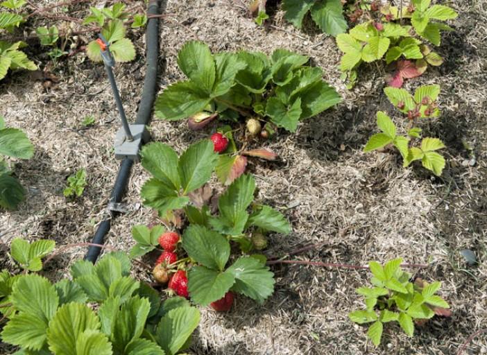 arrosage automatique fraises