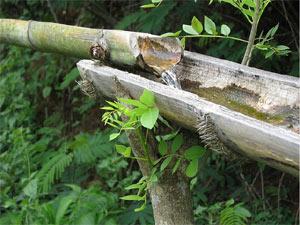 arrosage goutte a goutte bambou