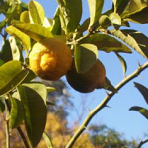 arrosage goutte a goutte citronnier