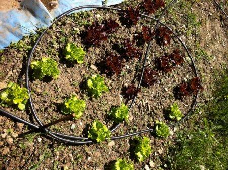 arrosage goutte a goutte salade