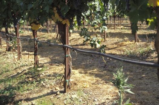 arrosage goutte a goutte vigne